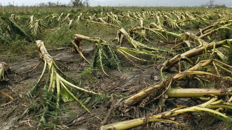 PHOTO: a Plantain farm in Puerto Rico destroyed by Hurricane Maria